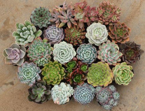 variante succulents pentru buchete